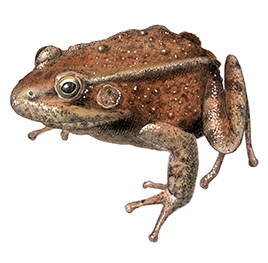 California red-legged frog illustration